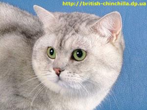 Британский кот шиншилла