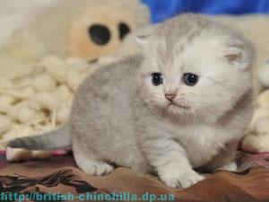Британский котенок шиншилла Анно Домини Диана Даймонд Лайф