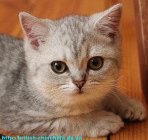 британский котенок Анно Домини Диана Даймонд Лайф