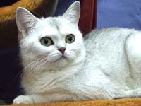 Британские котята шиншилла, british shorthair: cinchilla, Питомник