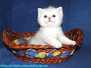 британский котенок шиншлилла Анно Домини Единственный И Неповторимый