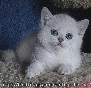 британский котенок окраса серебристая шинишлла Анно Домини Эксклюзивная Штучка