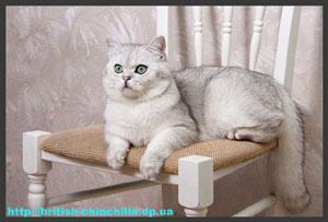 британский кот шиншилла Анно Домини Эпатажный Принц Элвис