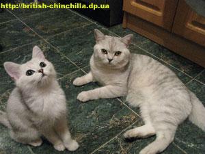 Британский котенок серебристая шиншилла