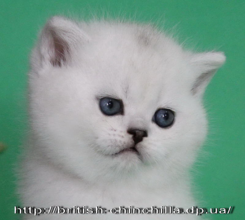 британский котенок шиншилла