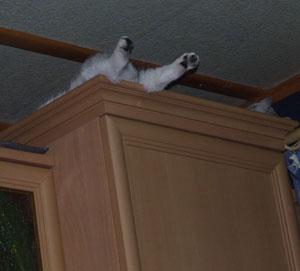 Прикольные фото, Британские котята шиншилла Kitten british shorthair: cinchilla, silver shaded