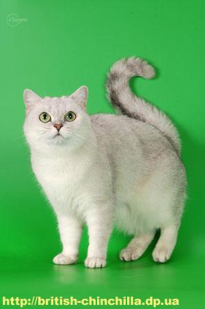 британская шиншилла кошка