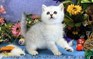 британский котенок окраса серебристая шиншилла