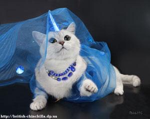 Британская шиншилла, британская кошка, британские шинишллы, британские кошки, серебристые шиншиллы