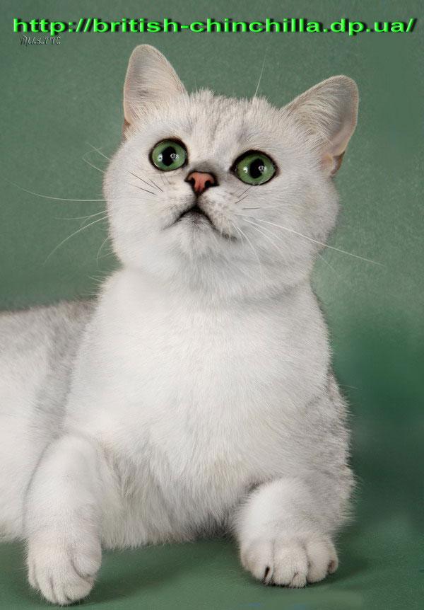 Британская кошка серебристая шинишлла Анно Домини Воплощенная Мечта