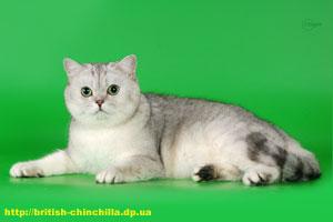 британский тикированный кот