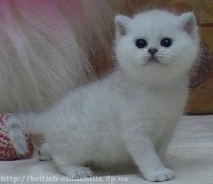 Британский котенок серебристая шинишлла