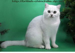 британская кошка серебристая шинишлла Glenbogle