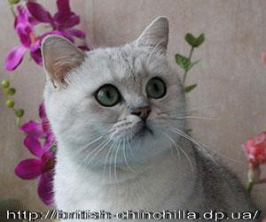 Британская кошка окраса серебристая затушеванная Анно Домини Царская Чеканка