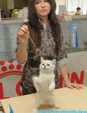 британский котенок шиншилла Анно Домини Воплощенная Мечта