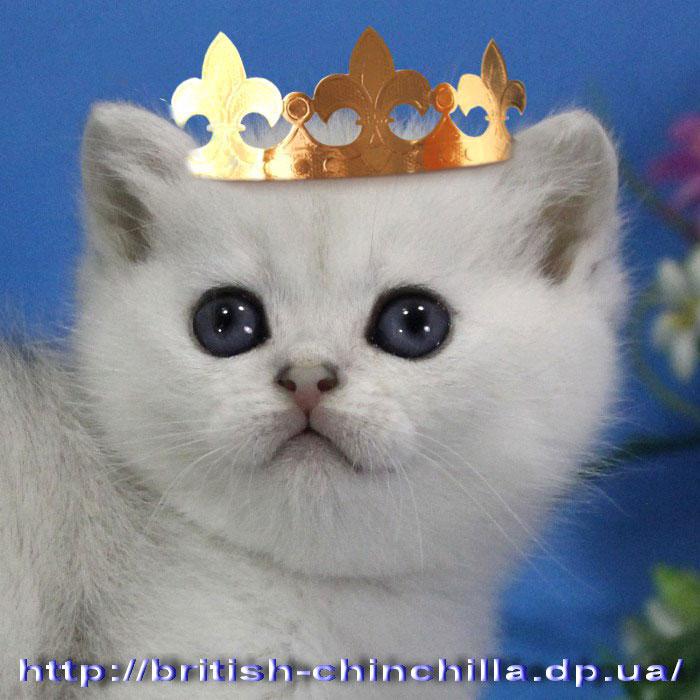британский котенок серебристая шинишлла Анно Домини Венок Сонетов