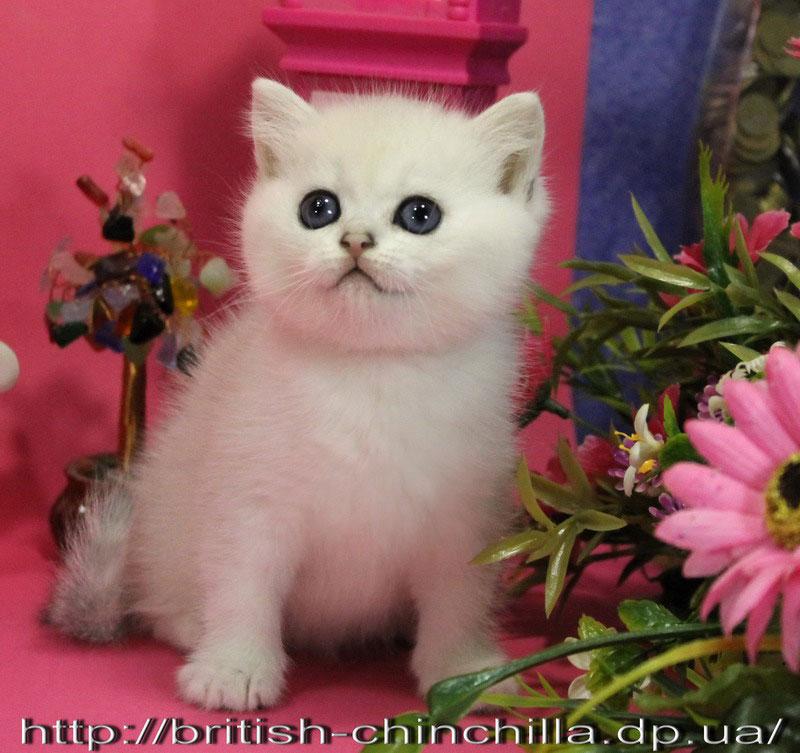 британский котенок серебристая шинишилла Анно Домини Вершина Айсберга