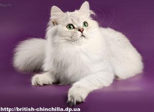 Британский длинношерстный кот Анно Домини Воздух Времени - 5 месяцев