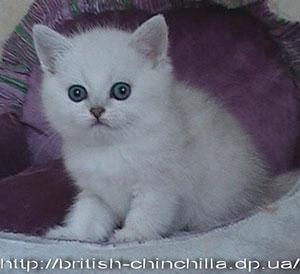 британские котята, британские шиншиллы, самые красивые котята,