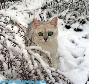 Британсмкий котенок шинишлла Анно Домини Жанровый Актер