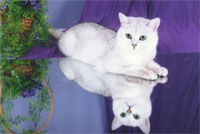Британский кот шиншилла british shorthair: cinchilla, silver shaded
